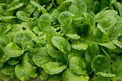 Wet fresh green lamb's lettuce, ready for harvest. Close. Full frame. Valerianella locusta, corn salad, leaf vegetable. Grown and harvest in summer and fall. A main ingredient in salads or cooked.