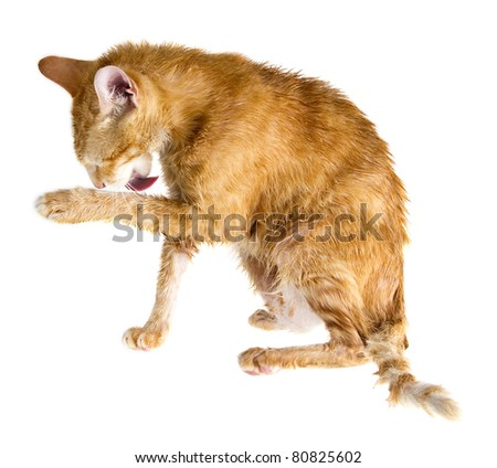 Wet ginger cat licking its paw