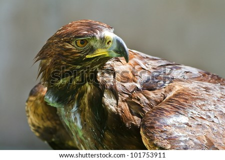 wet golden eagle