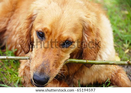 wet golden retriever dog portrait with stick in teeth
