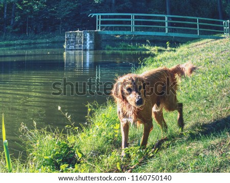 Wet golden retriver dog playing at nature pond in hot summer day. Smart dog #1160750140