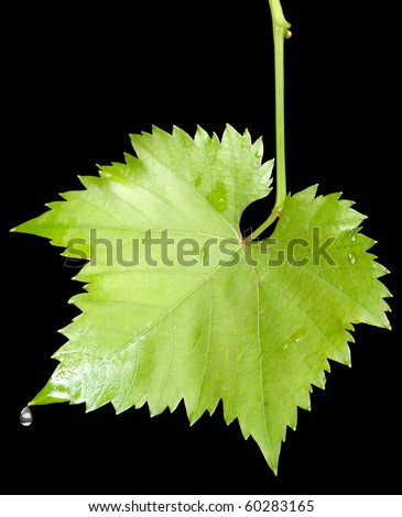 Wet grape leaves with the raindrops isolated on black background