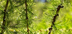 Wet green branches of larch with drops of water after a summer rain. Custom natural background for design and text