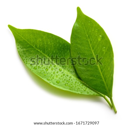 wet green leaves isolated on white background, top view