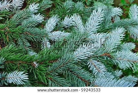 Wet green tree - fir-tree branches after rain