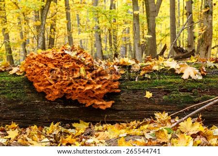 Wet heap of saprotrophic mushrooms on a fallen oak trunk, Forest on Vorskla protected area, Belgorod region in southern Russia