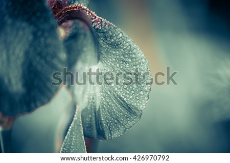 wet iris flower with rain drops on leafs