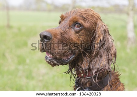Wet irish setter looks to his trainer waiting for commands - stock photo