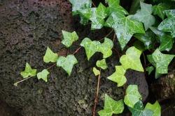 Wet Ivy leaves, rain drops on ivy