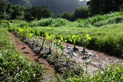 Wet Kalo Taro Fields on Windward Oahu with Trees and Mountains in the distance on a beautiful day.  Taro is a Hawaiian staple turned into the food poi.