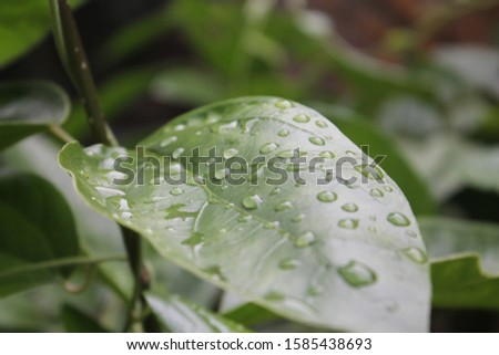 wet leaves due to rain
