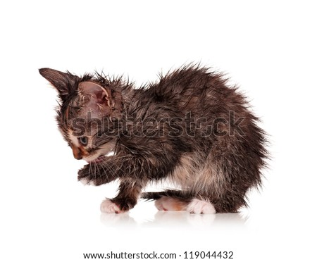 Wet little kitten isolated on white background