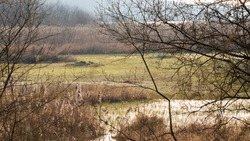 Wet marsh on the edge of a lake in northern France. Beautiful reed bed, rushes, green grasses and small ponds of water. Bright backlight on an early spring morning. Wild forest in the background.