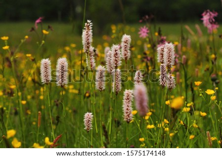 Wet meadow with bistort Polygonum bistorta