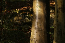 Wet old beech tree trunks in an English woodland landscape, the Lake District