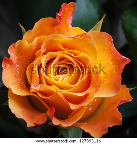 Wet orange and red rose flower close-up photo with shallow depth of field