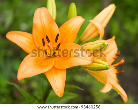 wet orange lily on green background
