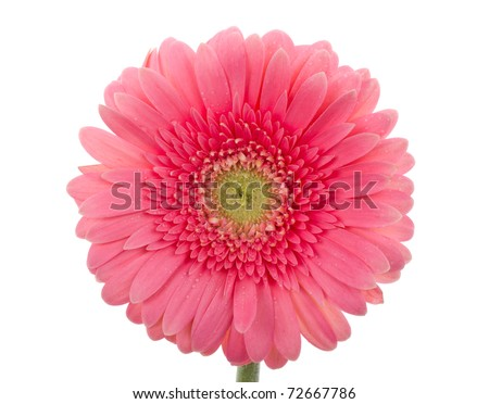 wet pink gerbera flower