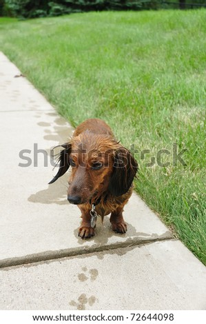 Wet Red Long-Haired Dachshund on a Sidewalk