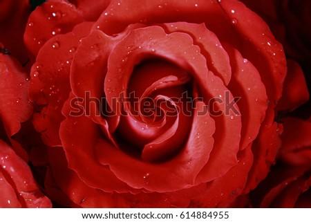 Wet Red Rose #614884955