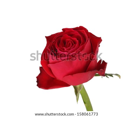 Wet red rose. Isolated on a white background