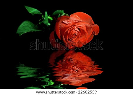Wet red rose on black background with flood effect.