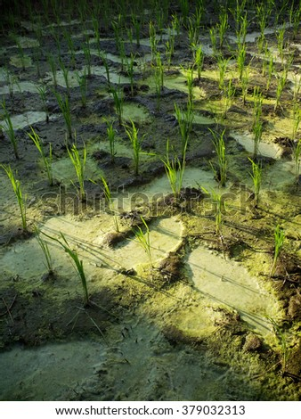 Wet Rice Cultivation: 15-Day-Old Rice Plants Treated With ...