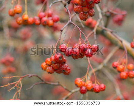 wet ripe bunches of ripe hawthorn fruits in autumn #1555036733