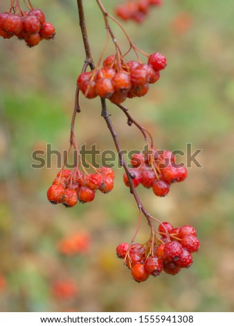 wet ripe bunches of ripe hawthorn fruits in autumn #1555941308