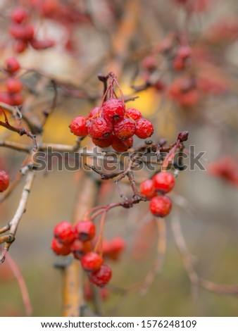 wet ripe bunches of ripe hawthorn fruits in autumn #1576248109