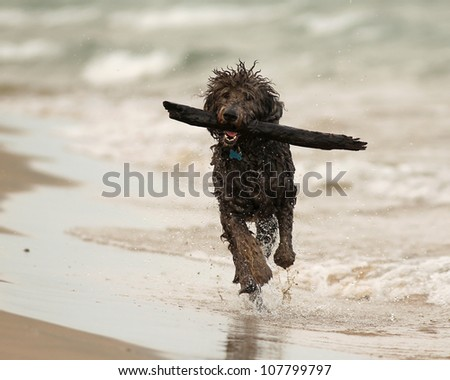 Wet Shaggy Dog Running with Stick on Beach - Lake Huron, Ontario - stock photo