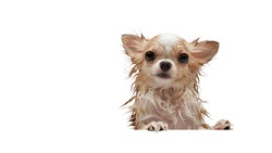 Wet small cute brown Chihuahua dog on white background.