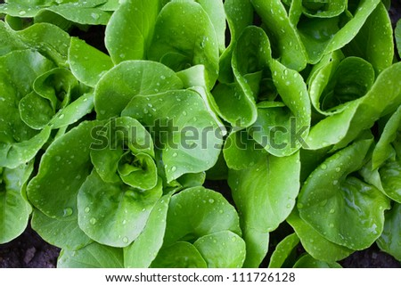 Wet small lettuces shot from above