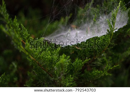 Spiders Web In A Pine Forest Images And Stock Photos Page 3