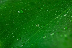 Wet surface of monstera green leaf with drops of water. Macro photography. Selective focus.