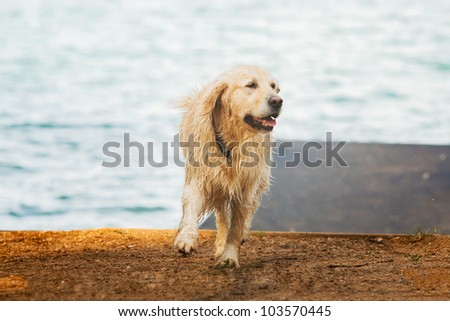 Wet yellow lab after bath in lake