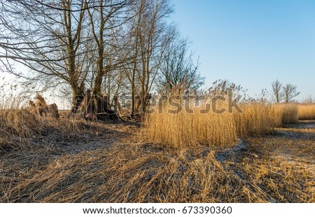 Wetlands in the Netherlands after harvesting the reed by the reed cutter. It is a sunny in the end of the Dutch winter season. In the background bundles of reeds stand against a tree to dry. #673390360