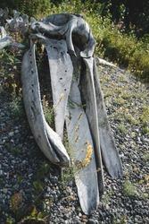 Whale Bone Skeleton in Alaska