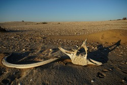 Whale bones bleached in the sun lying on the sand at Meob Bay whaling station, Namibia, Africa