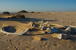 Whale bones, bleached in the sun lying on the sand at Meob Bay whaling station, Namibia, Africa