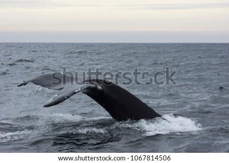 Whale diving in ocean #1067814506