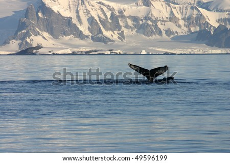 Whale fin and snowcapped landscape in Antarctica