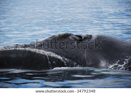Whale in the Gulf of puerto piramide, Patagonia Argentina