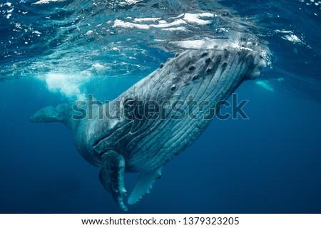 whale nature Tonga