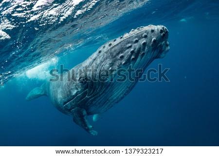 whale nature Tonga Foto stock ©