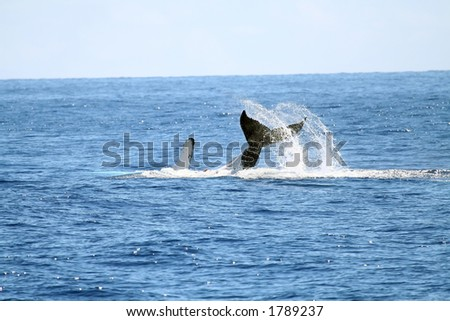 whale playing with it's tail out