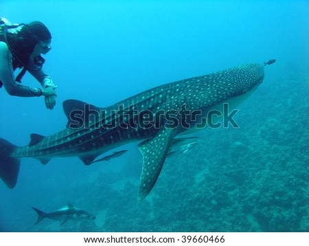 Whale shark and a scuba diver