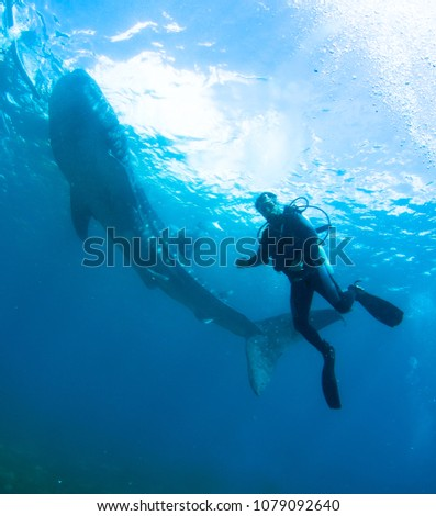Whale shark and diver. #1079092640