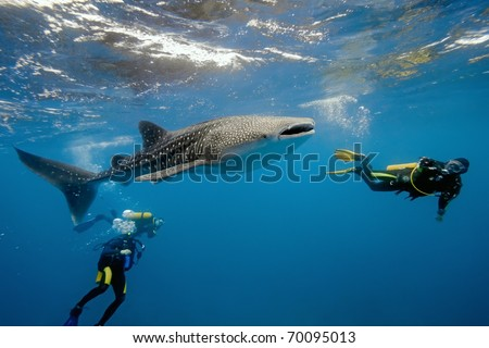 Whale shark and underwater photographer - stock photo