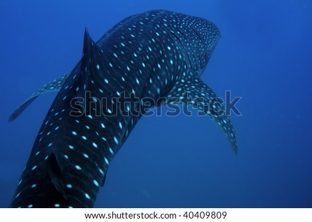 Whale shark encountered off Sail Rock in the Gulf of Thailand
